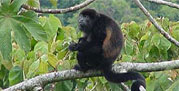 It is easy to spot all kinds of monkeys in Costa Rica